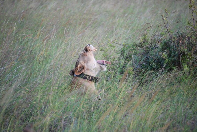 Ground Lab Open Source Lion Tracking Collars